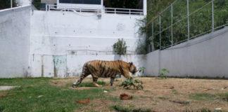 Rescata Profepa a tigre de bengala en Morelos
