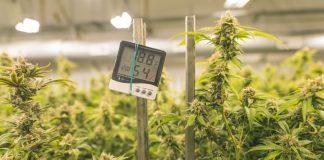 Se formará grupo para analizar regulación del marihuana: AMLO